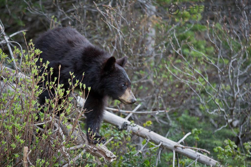 Baby Bear in Waterton Lakes National Park Cameron Falls