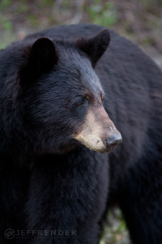 Momma Bear in Waterton National Park